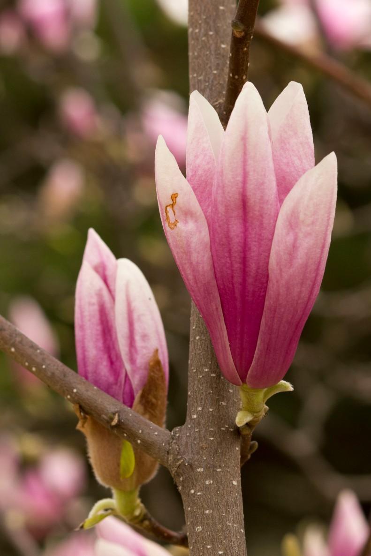 pink magnolia shrunk
