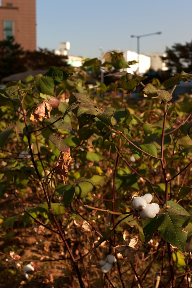 The strangest thing in the garden; Cotton. I believe a school was using a section of the farm to grow it.